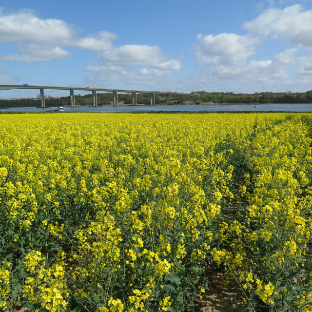 """Oilseed rape field & Orwell Bridge"" stock image"