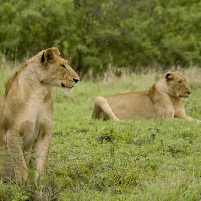 """""""a pair of wild lions"""" stock image"""