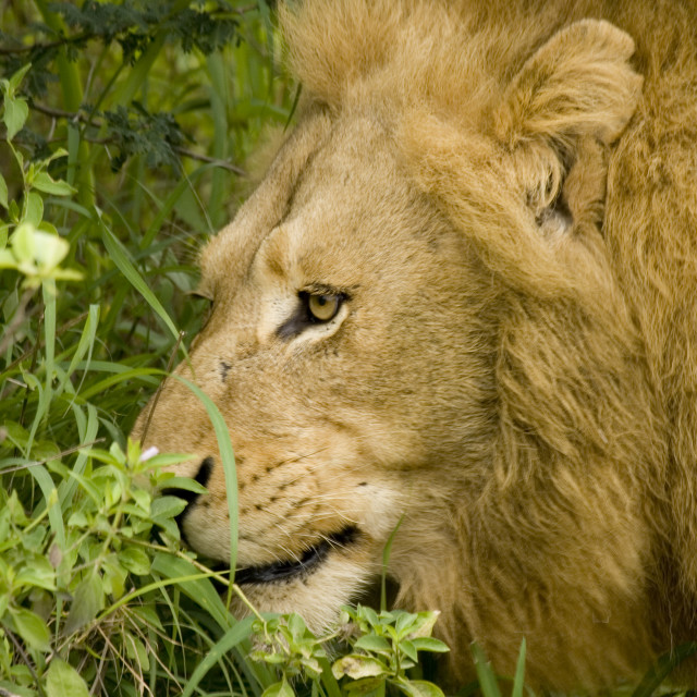 """""""Head of a lion"""" stock image"""
