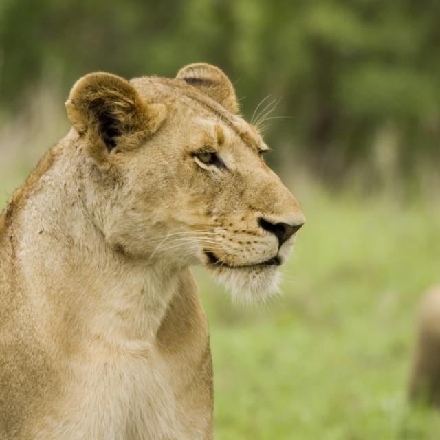 """""""lion female"""" stock image"""