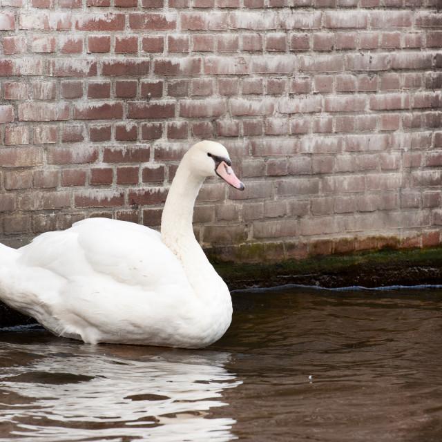 """Zwaan in Amsterdamse gracht"" stock image"
