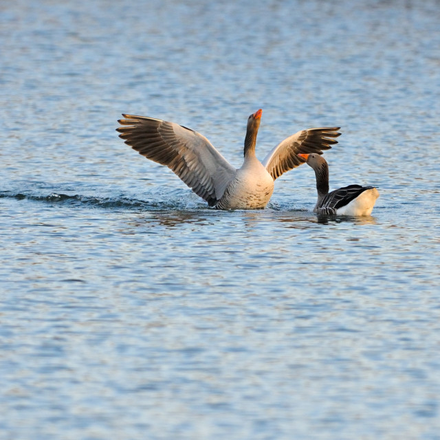 """""""Greylag geese during courtship"""" stock image"""