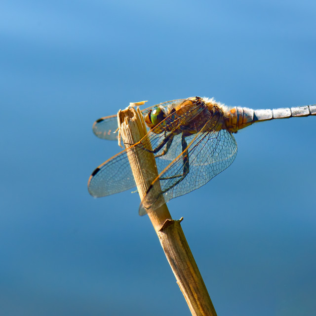 """""""Dragonfly - Broad-bodied Chaser"""" stock image"""