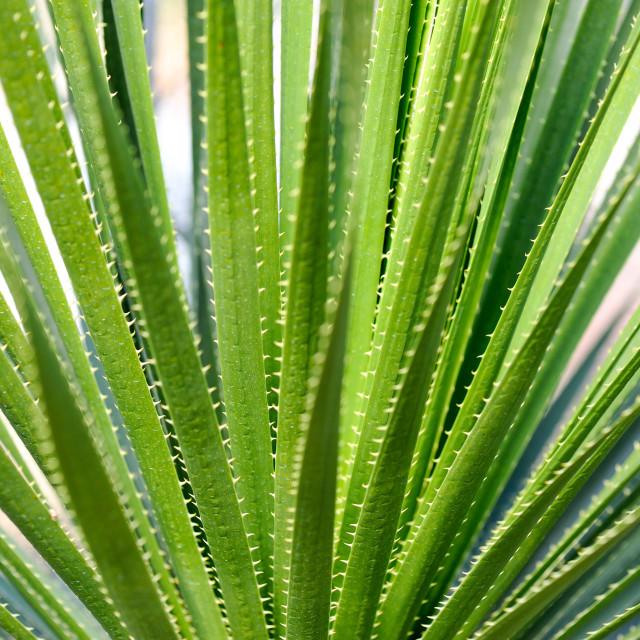 """Aloe Vera"" stock image"