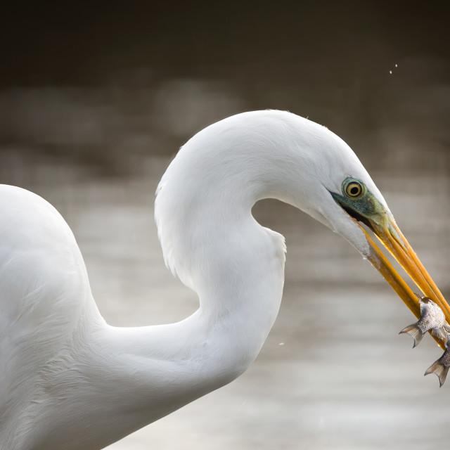 """""""White heron/Ardea Alba"""" stock image"""