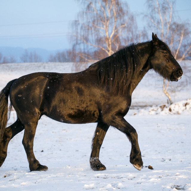 """Friesian horse in winter"" stock image"