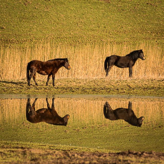 """""""Horse Reflection"""" stock image"""