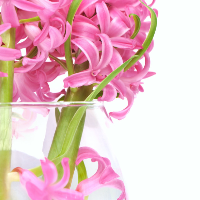 """pink hyacinths in a vase"" stock image"