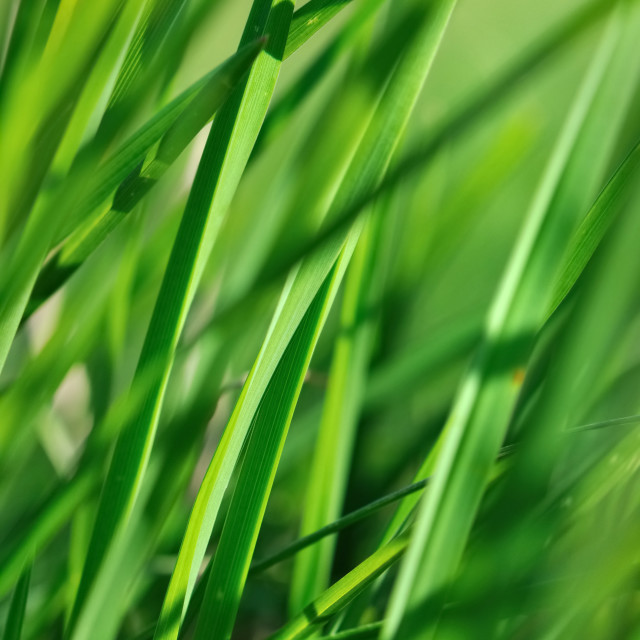 """""""blade of grass"""" stock image"""