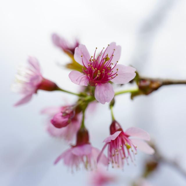 """Cherries blossoms"" stock image"
