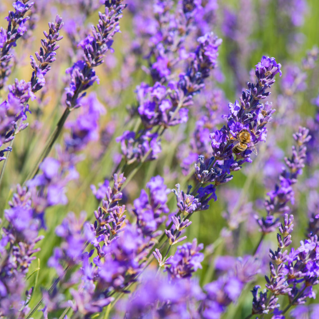 """""""lavender flowers with bee in France"""" stock image"""