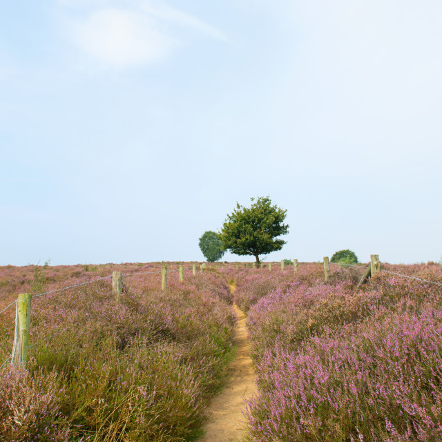 """Heather in landscape"" stock image"