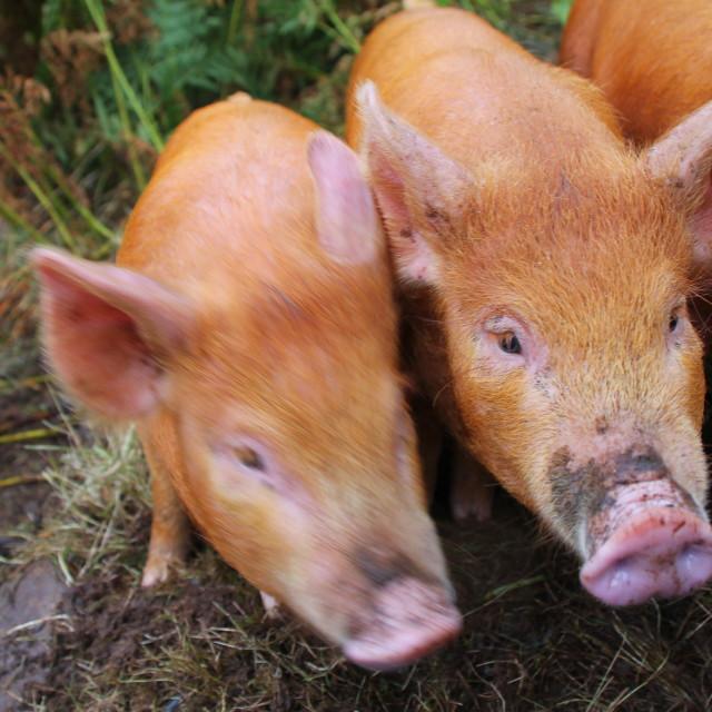 """Two little piggies"" stock image"