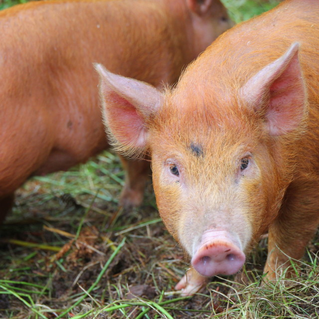 """""""This little piggy"""" stock image"""
