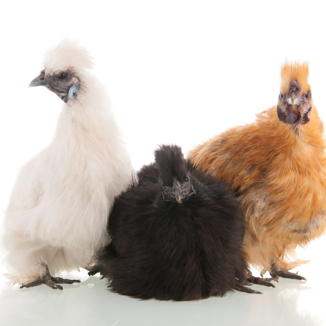 """""""Silkie chickens"""" stock image"""