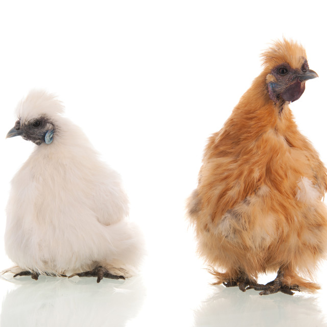 """""""White and brown silkies"""" stock image"""