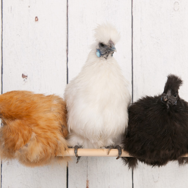 """""""Silkies chickens in henhouse"""" stock image"""
