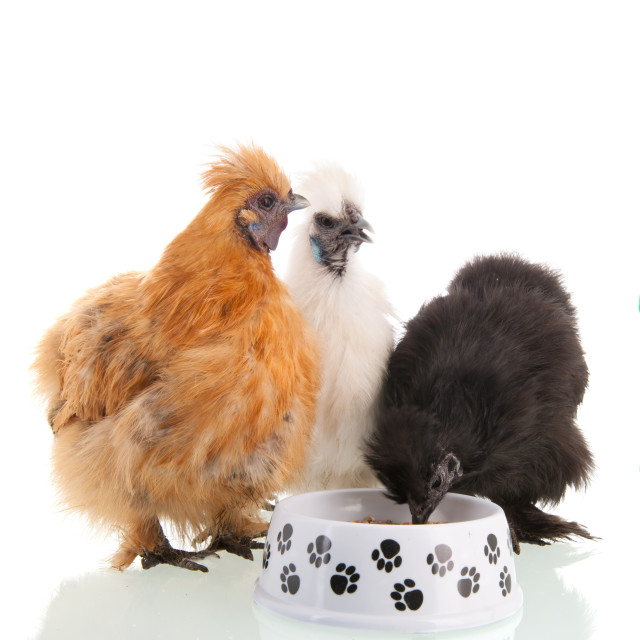 """""""Silkie chicken eating"""" stock image"""