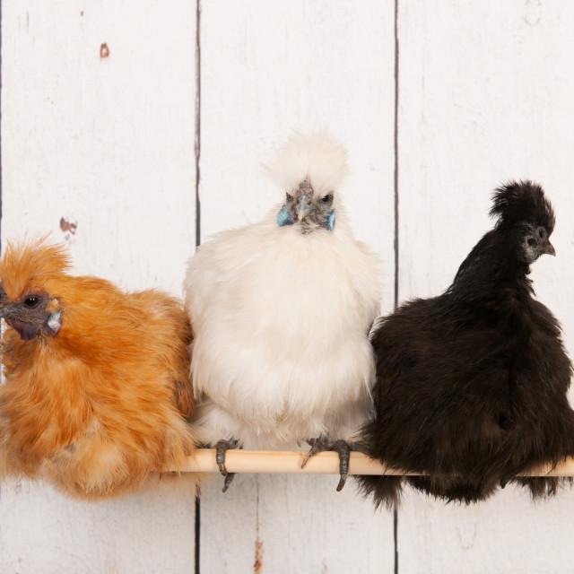 """Silkies in henhouse"" stock image"