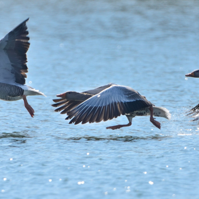 """""""Graylag Geese taking off"""" stock image"""