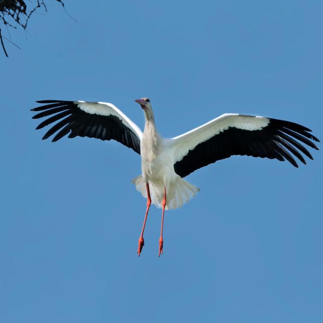 """""""Stork in flight"""" stock image"""