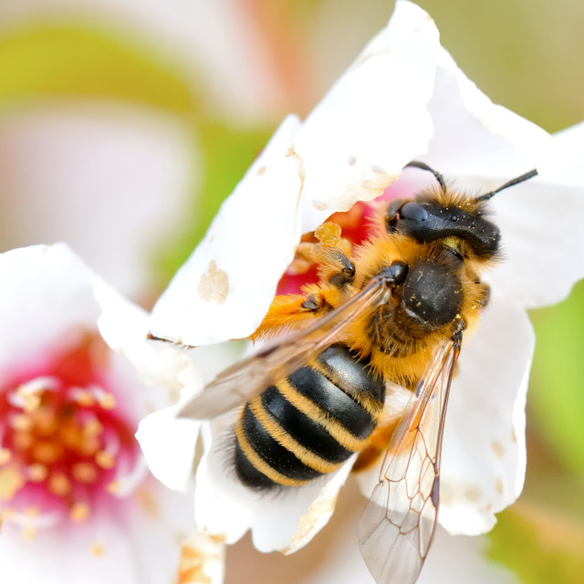 """""""Close-up of a honey bee"""" stock image"""