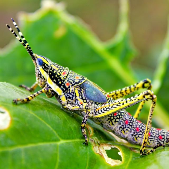 """A Colourful Grasshopper"" stock image"