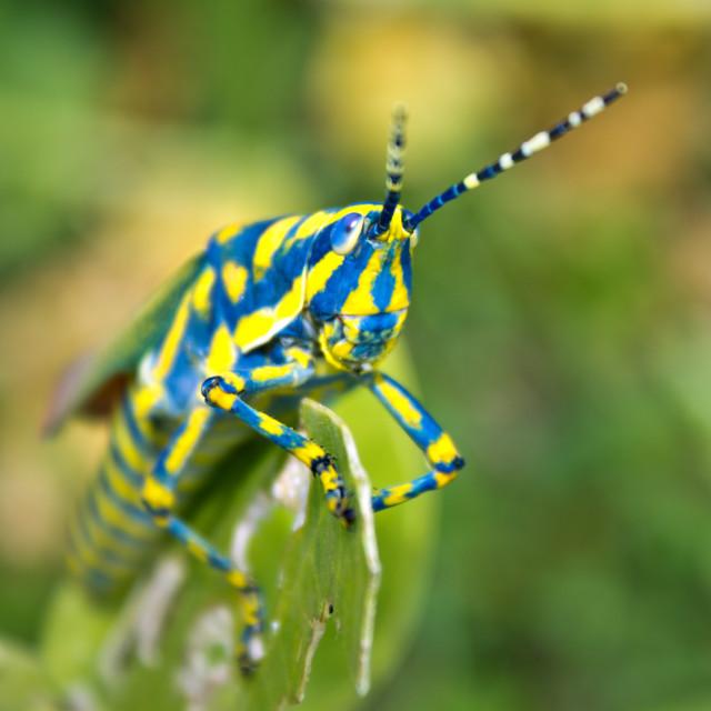 """Colourful Grasshopper"" stock image"
