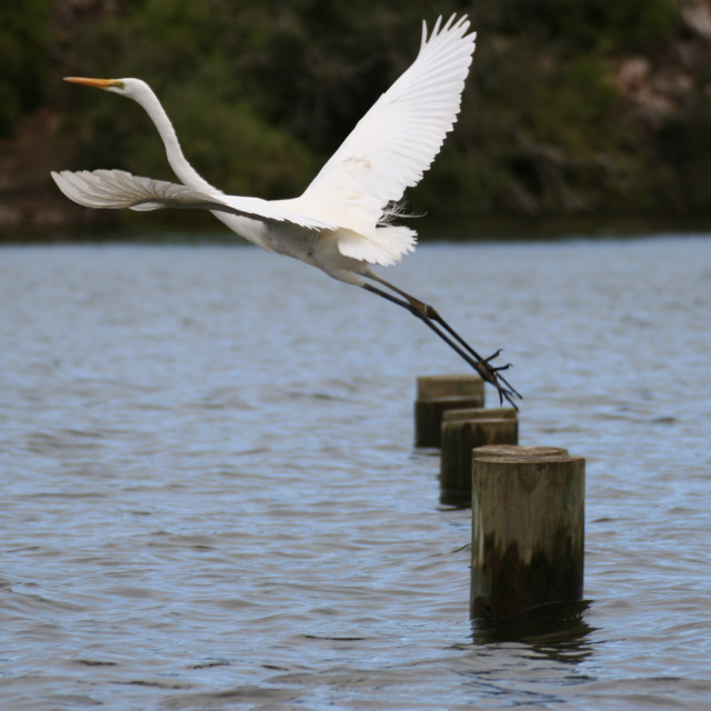 """Egret take-off at Nelson, Victoria"" stock image"