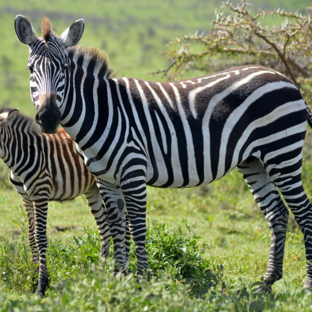 """Zebra and baby"" stock image"