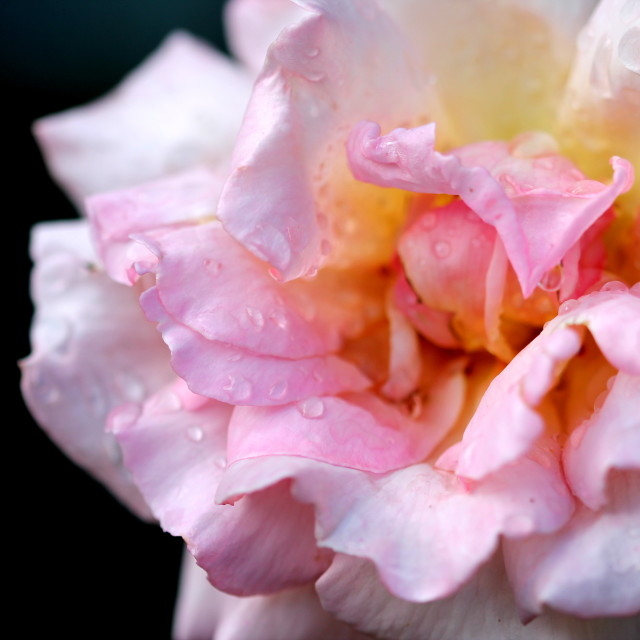 """Crumbled Rose"" stock image"