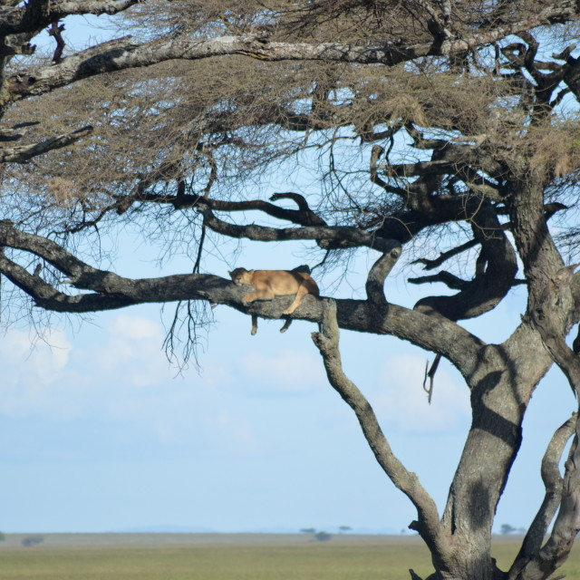 """""""Lion sleeping in a tree"""" stock image"""