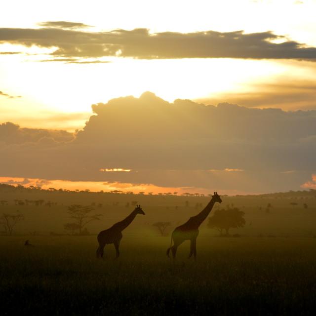 """Giraffes at sunset"" stock image"