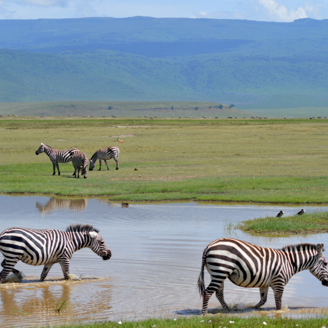 """Zebra in the Ngorongoro Crater"" stock image"