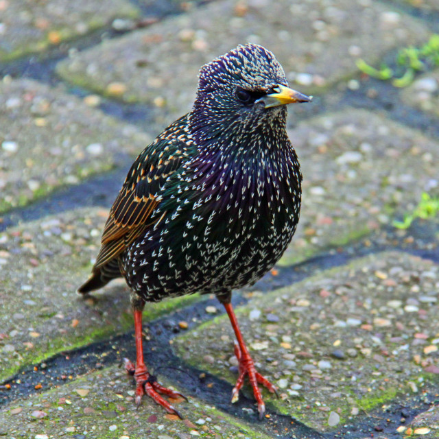 """""""I'm a Starling, Darling!"""" stock image"""