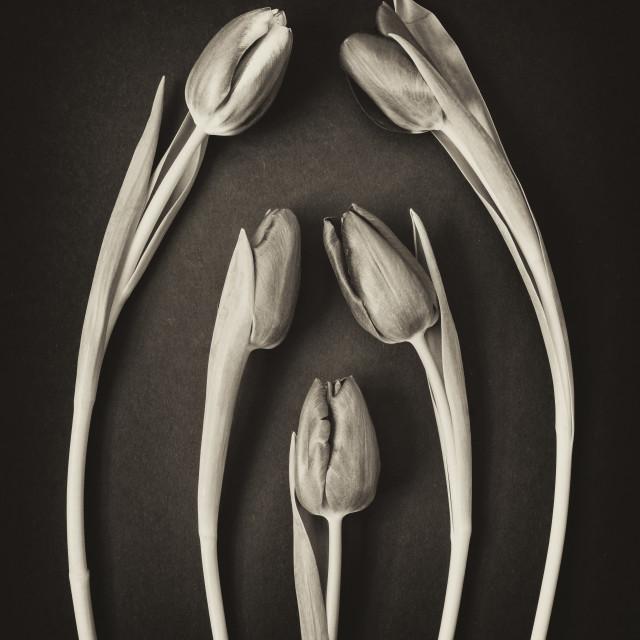 """Five Tulips."" stock image"