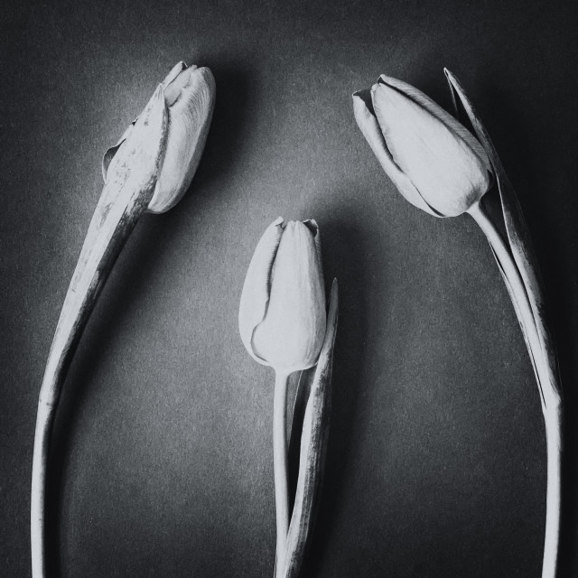 """Three Tulips - Monochrome"" stock image"
