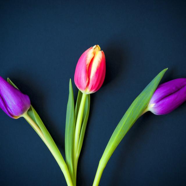 """Three Tulips - color"" stock image"