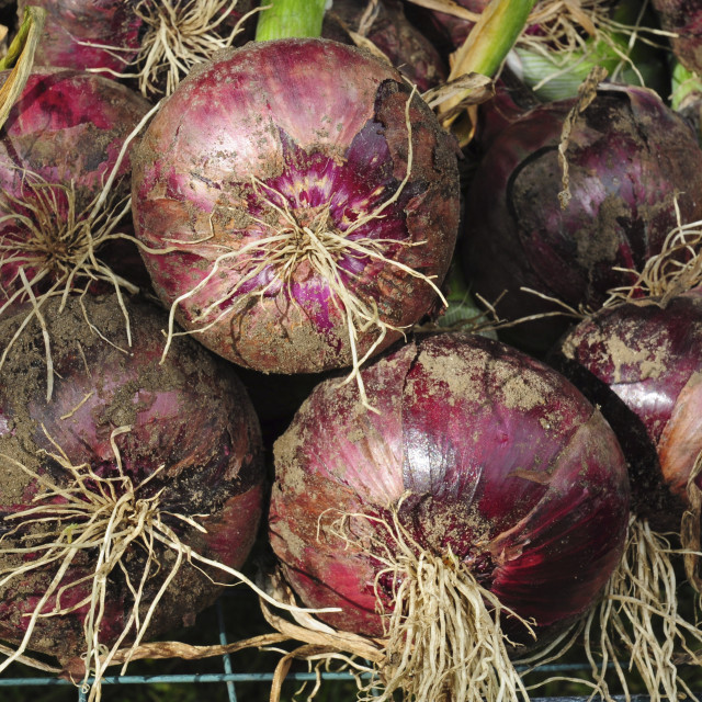 """Freshly dug 'Red Baron' Onions"" stock image"