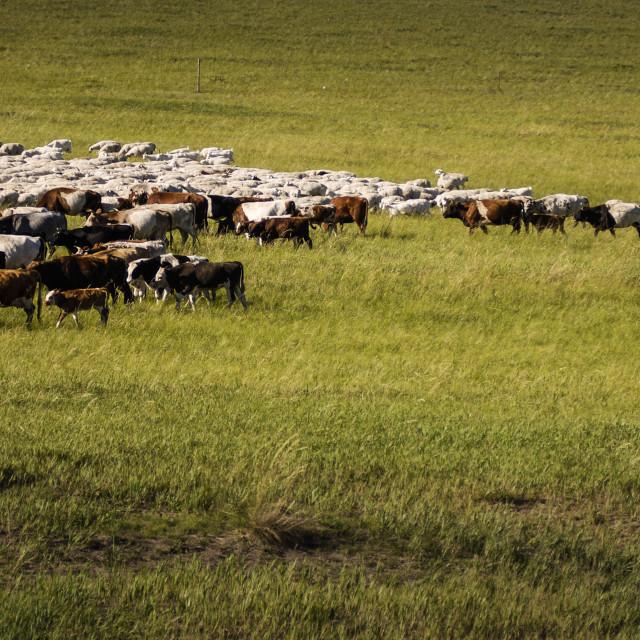 """""""Graze on Inner Mongolia"""" stock image"""