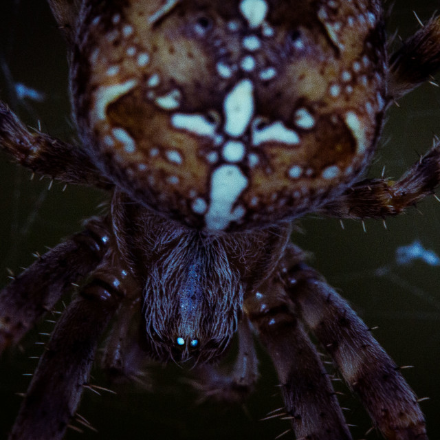 """cross spider"" stock image"
