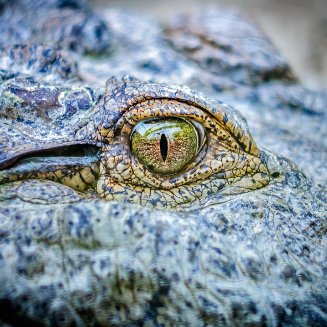 """Close up of eye of a crocodile with copy space"" stock image"