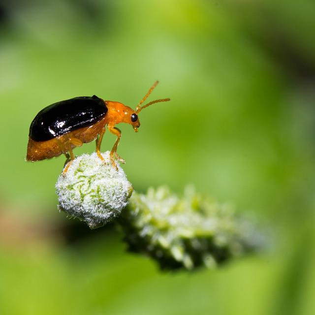 """""""Bombardier Beetle"""" stock image"""