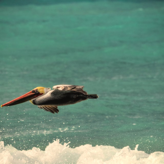 """Pelican in flight"" stock image"