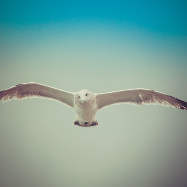 """Seagull in flight"" stock image"