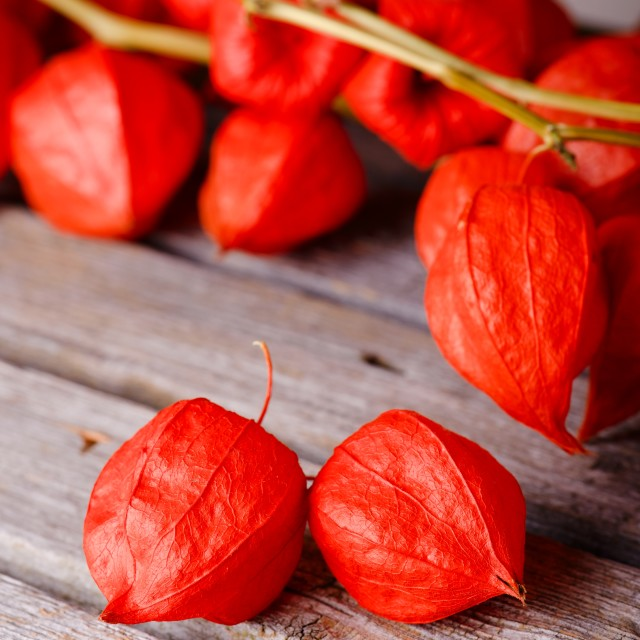 """""""Pair of red physalis blooms in front of others"""" stock image"""