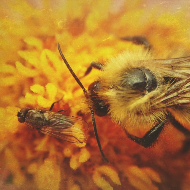 """""""Bee and fly pollinating a flower"""" stock image"""