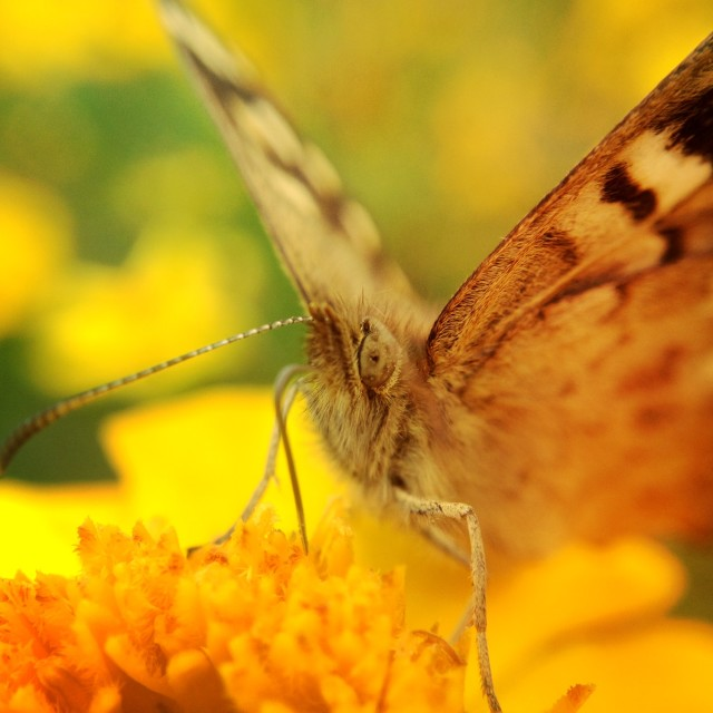 """Pollinating butterfly"" stock image"