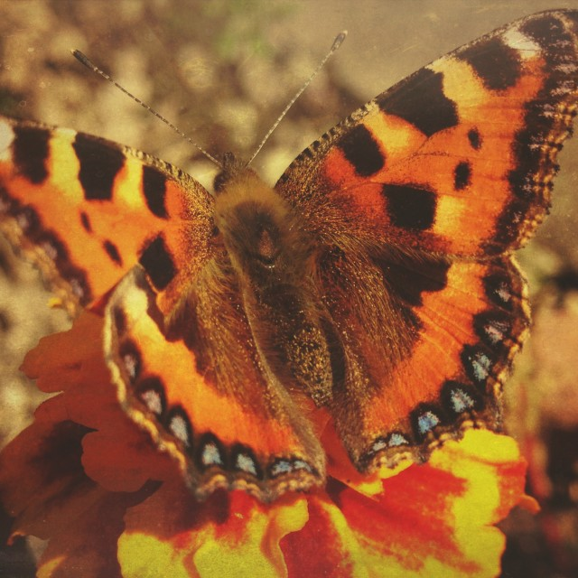 """Tortoiseshell butterfly"" stock image"
