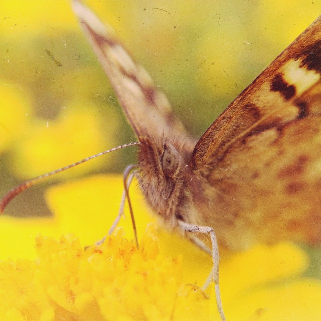 """""""Pollinating butterfly"""" stock image"""